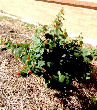Home grown plants garland tx.